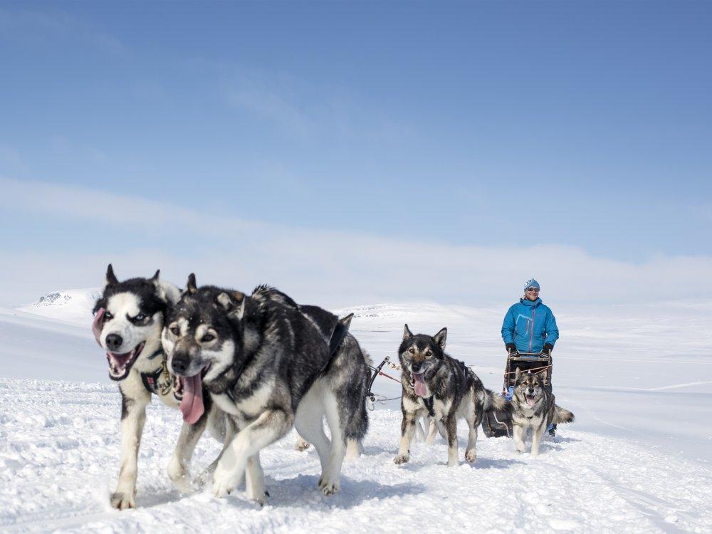 Husky Schlittentour Schwedisch Lappland