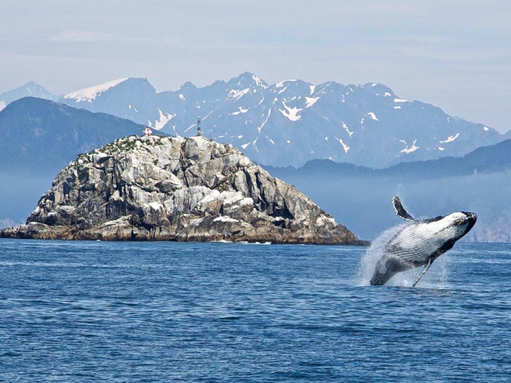 Buckelwal Kenai Fjords Nationalpark