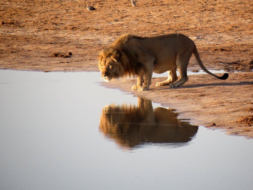 Löwe im Hwange Nationalpark