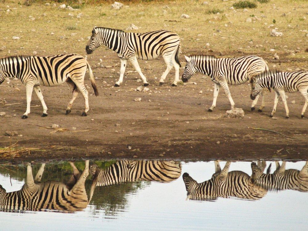 Zebra Gruppe am Wasserloch