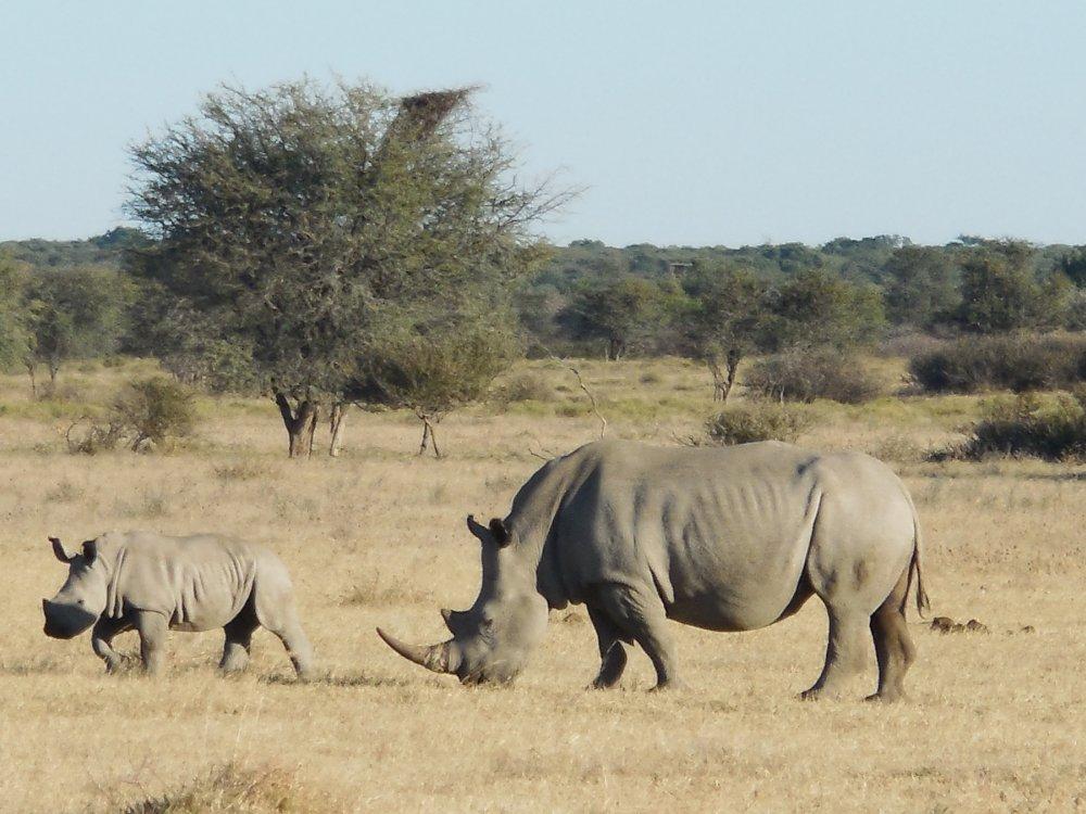 Khama Rhino Sanctuary Nashorn mit Jungtier