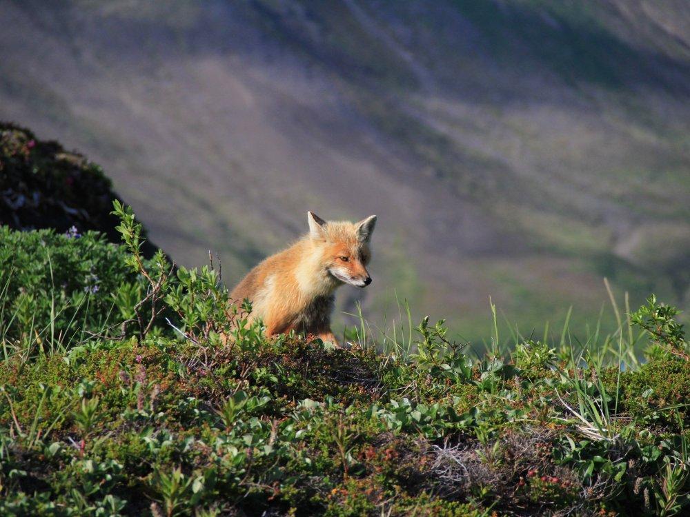 Fuchs im Aniakchak Schutzgebiet