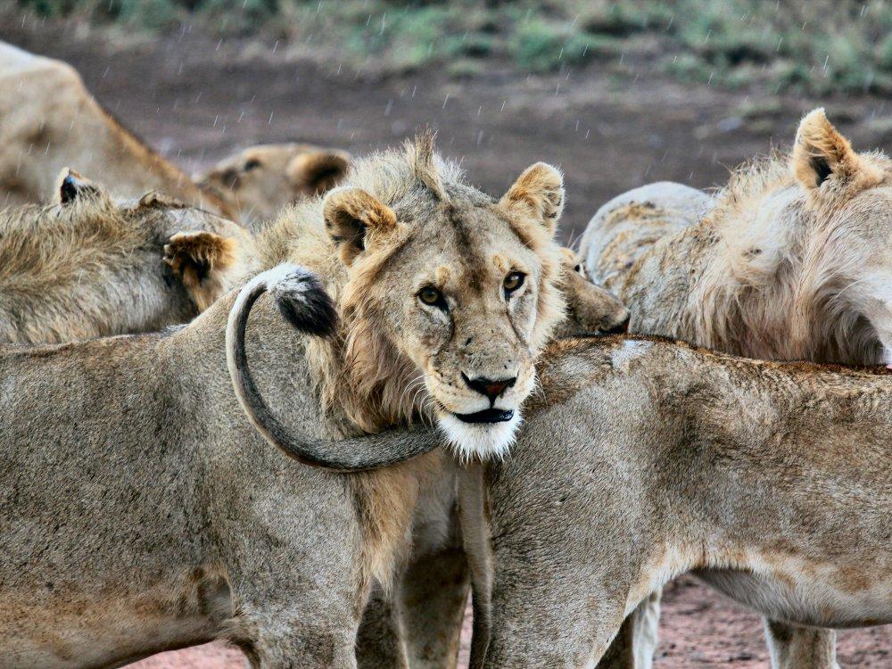 Eine Gruppe Löwen in der Serengeti