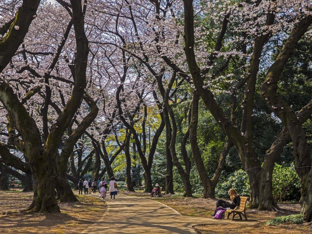Kirschblüte im Yoyogi Park in Tokio