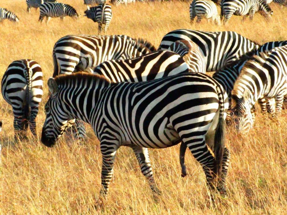 Zebra Krüger Nationalpark