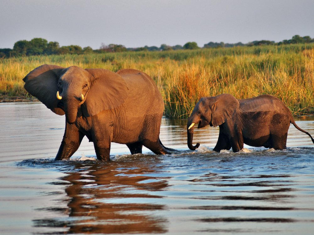 Elefanten durchqueren einen Fluss im Chobe Nationalpark