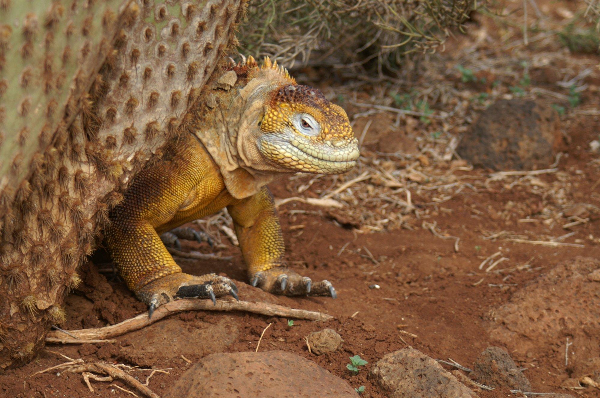 Galapagos Landleguan