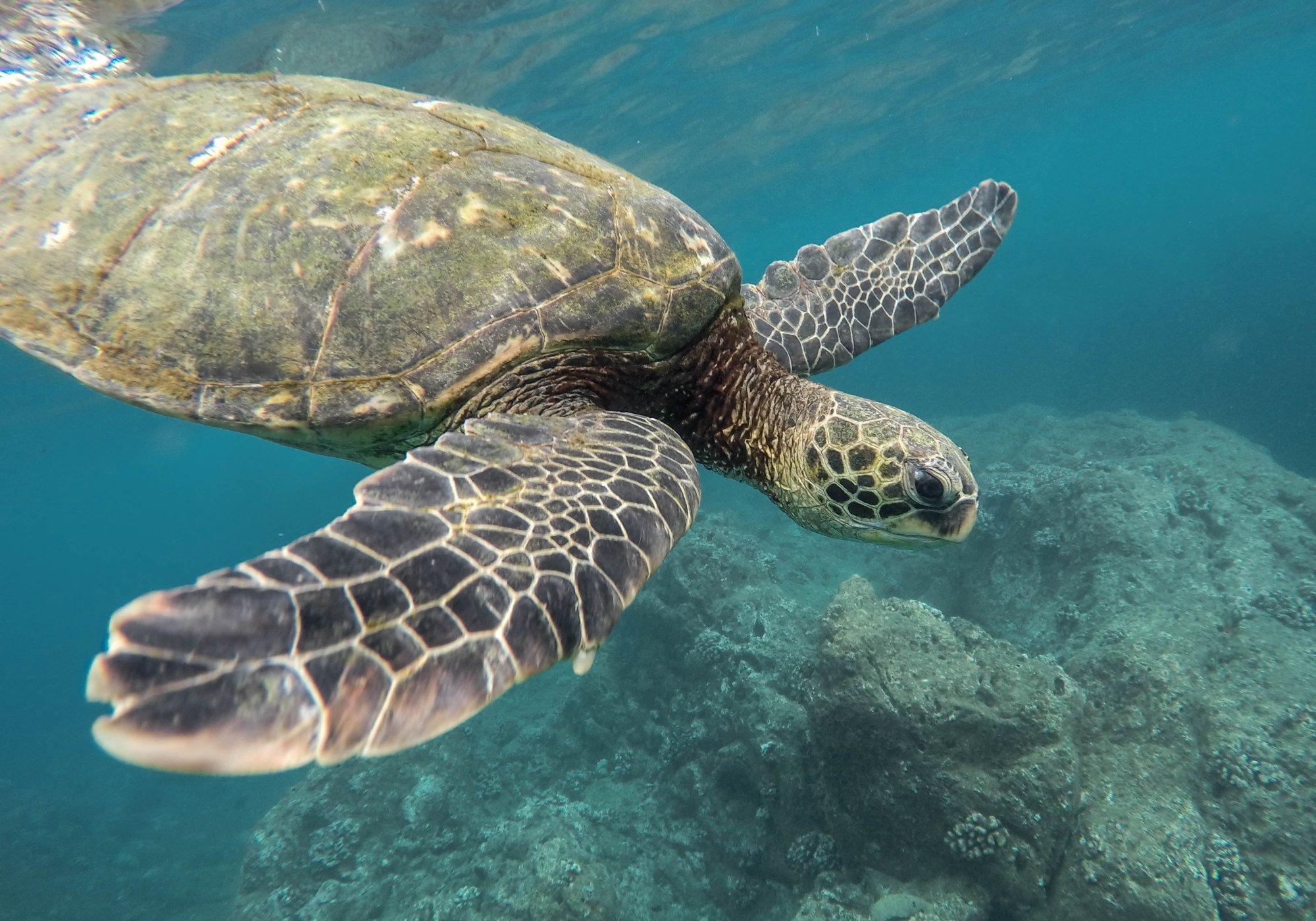 Grüne Galapagos-Meeresschildkröte