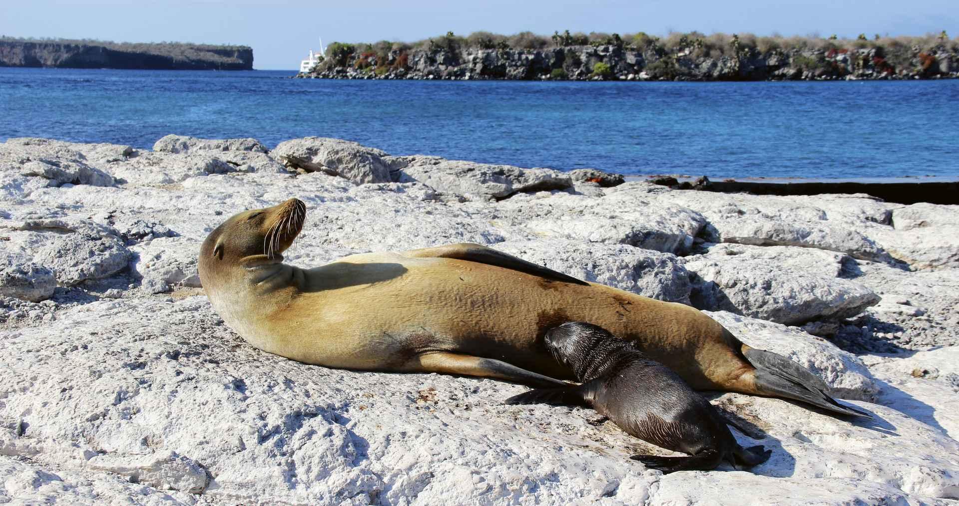 Galapagos Seelöwe mit Nachwuchs
