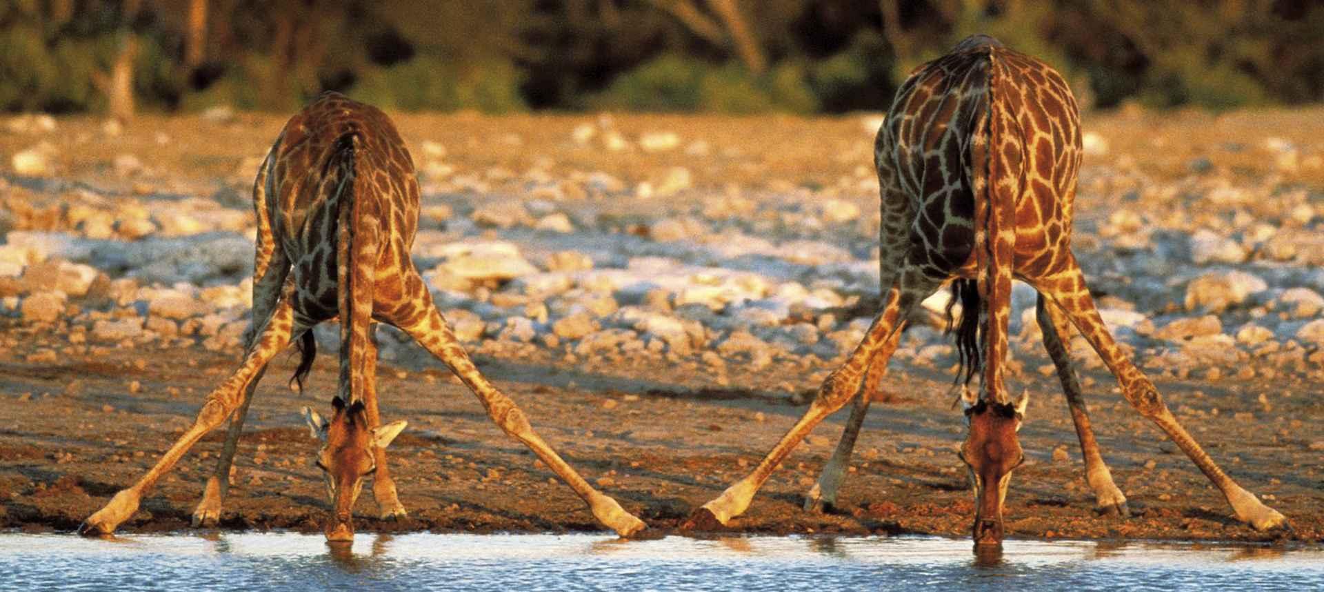 Durstige Giraffen am Wasserloch