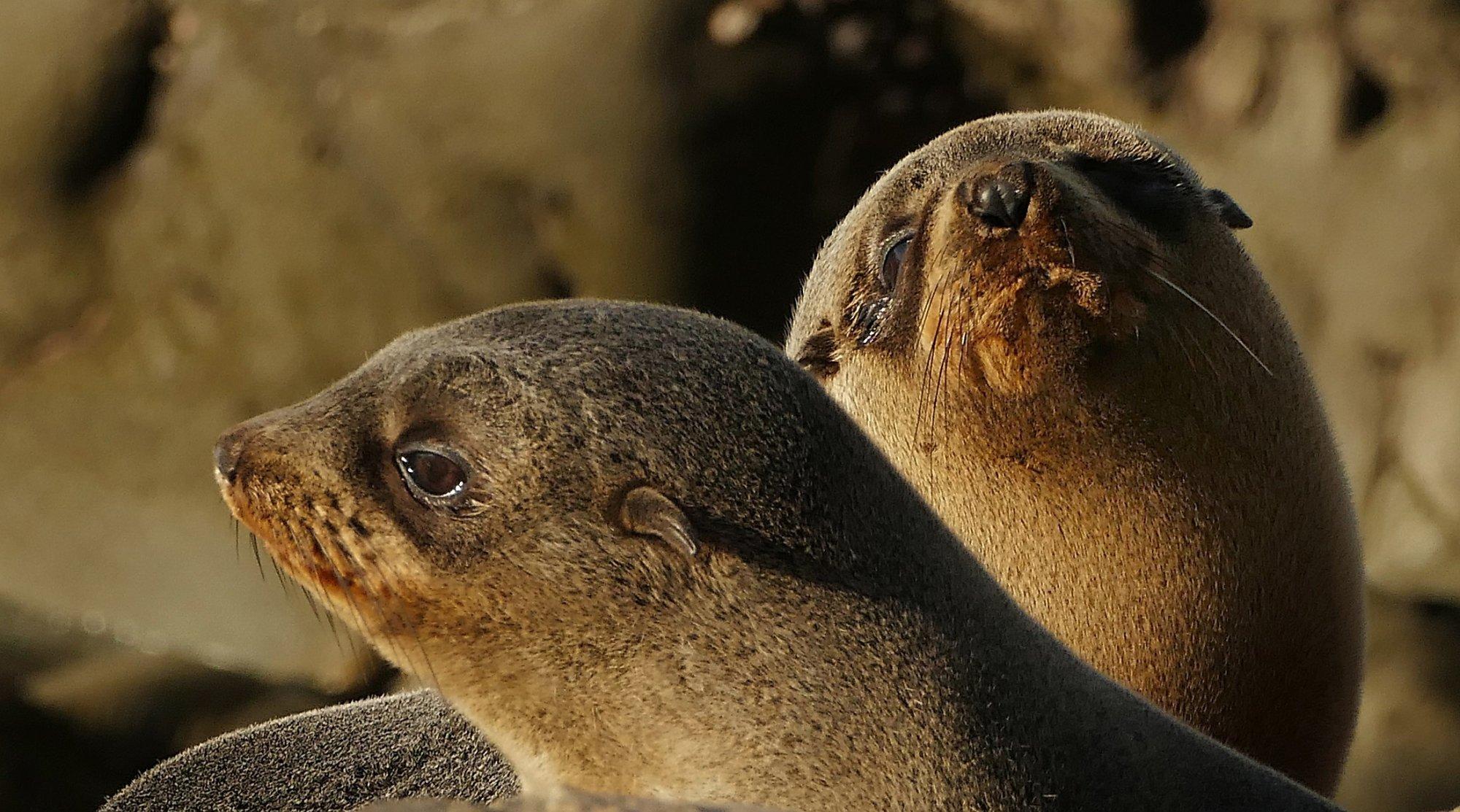 Galapagos Seebär