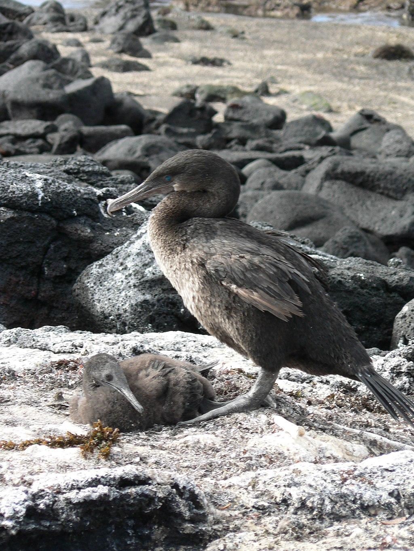 Galapagosscharbe / Flugunfähiger Kormoran