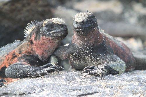 Galapagos Landleguane werden auch Drusenköpfe genannt