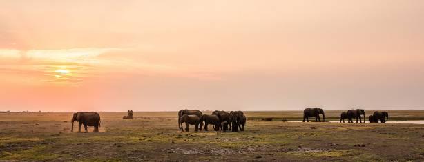 Elefanten im Sonnenuntergang Chobe Nationalpark