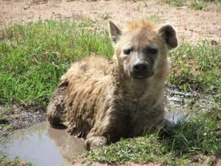 Abenteuer Sambia - Auf der Spur der Hyänen