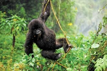 Gorilla schwingt sich durch den Dschungel