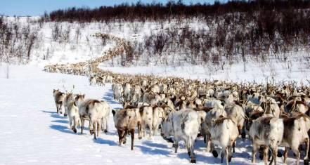 Sámi Rentiermigration - Tour of a lifetime!