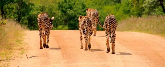 Krüger Nationalpark Lodge Safari
