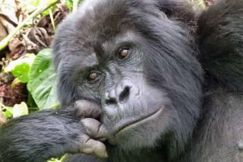 Berggorillas in Uganda & Kenias Wildparks