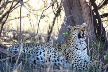 Leopard bei Nationalpark Safari Nord Tansania