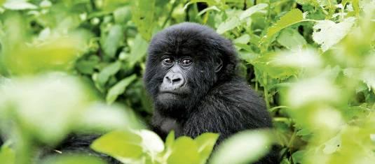 Abenteuer Masai Mara & Gorillas
