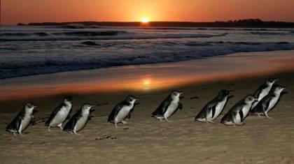 Phillip Island - Pinguin Parade