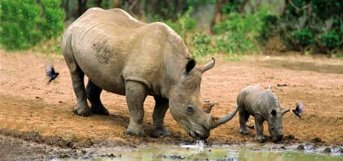 Nashorn und Nashornbaby in Botswana