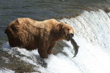 Bären Beobachtung im Katmai Nationalpark