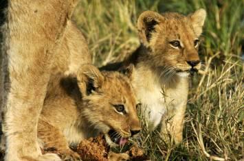 Die Straße der Löwen in Botswana