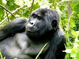 Ostafrika & Berggorillas