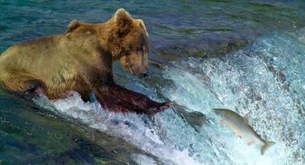 Bärenbeobachtung an den Brooks Falls im Katmai Nationalpark