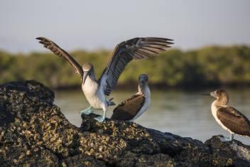 Galapagos Blaufußtölpel