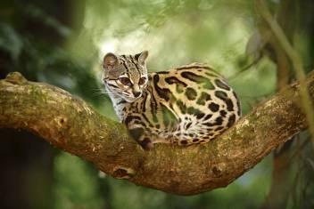 Selva Bananito - Auf den Spuren der Wildkatzen