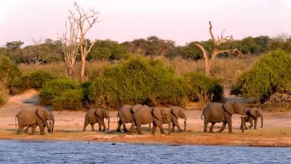 Elefanten am Ufer des Chobe River