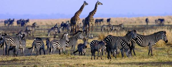 Zebras & Giraffen