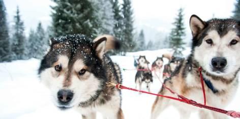 Hundeschlitten für Anfänger
