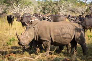 Nashorn im Krüger Park