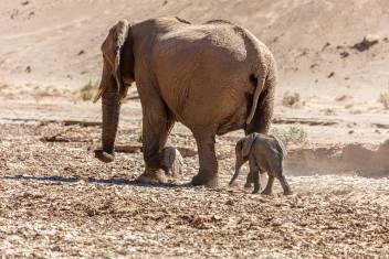 Elefanten mit Kalb