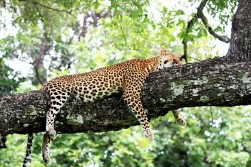 South Luangwa Leopard auf Baumstamm