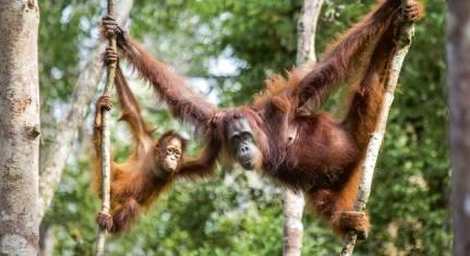 124Y21003_Orang Utan Expedition auf Kalimantan