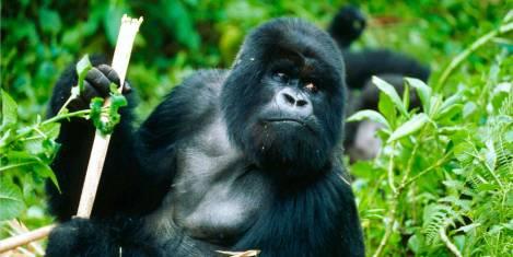 Masai Mara & Gorilla Begegnung