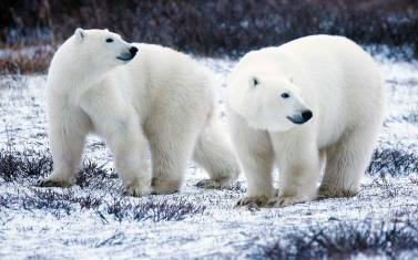 Polar Bear Experience - die Eisbären der Hudson Bay
