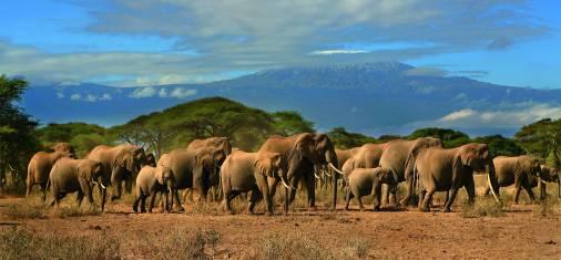 Elefantenherde mit Kilimandscharo im Hintergrund