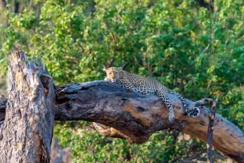 Gepard entspannt sich auf einem Baum in Botswana