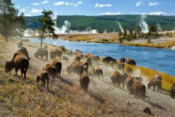 Yellowstone Wildlife Walk