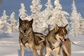 Huskytour durch die Wildnis von Finnisch-Lappland