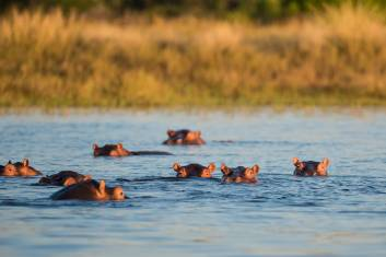 Flusspferde im Liwonde Nationalpark in Malawi