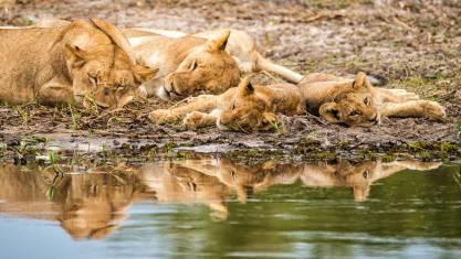 Schlafende Löwen am Fluss in Botswana