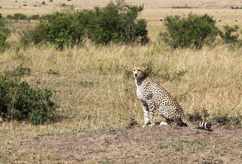 Gepard in der sonnigen Steppe der Masai Mara.