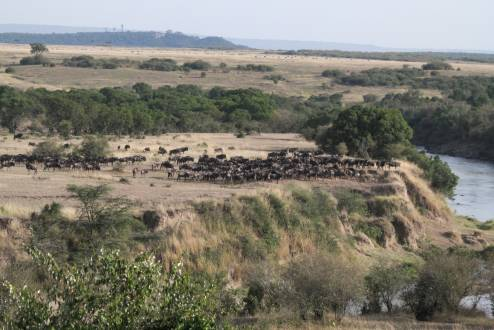 Kenia_Gnus am Mara Fluss_Masai Mara 2